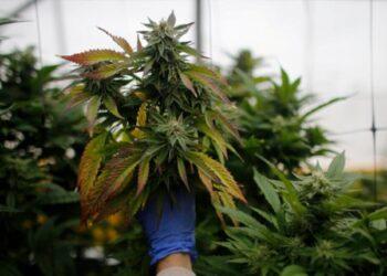 Empresa ofrece empleo para catar marihuana