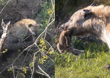 Hiena roba un leopardo bebé en un parque de Sudáfrica