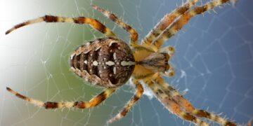 Las arañas macho atan a las hembras, las pican con su veneno y las inmovilizan con telaraña