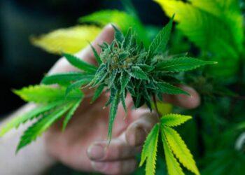 Los recursos fiscales obtenidos serían destinados al tratamiento de adicciones de consumidores de cannabis