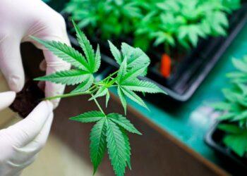 Critican al PAN por manifestarse en contra de la regularización de la marihuana