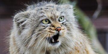 Australia extermina a millones de gatos salvajes