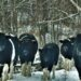 Las vacas abandonadas en Chernóbil tiene comportamientos similares a los de los animales salvajes