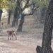 Perro callejero se enfrenta contra una leona en un parque natural de la India