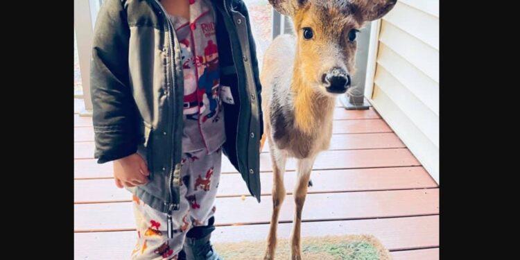 Un niño de cuatro años sorprende a su mamá llevando a casa un ciervo como mascota
